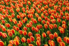 special needs, Holland, Tulips